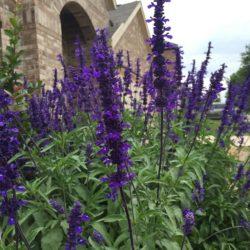 Salvia Farinacea- Mealy Cup Sage